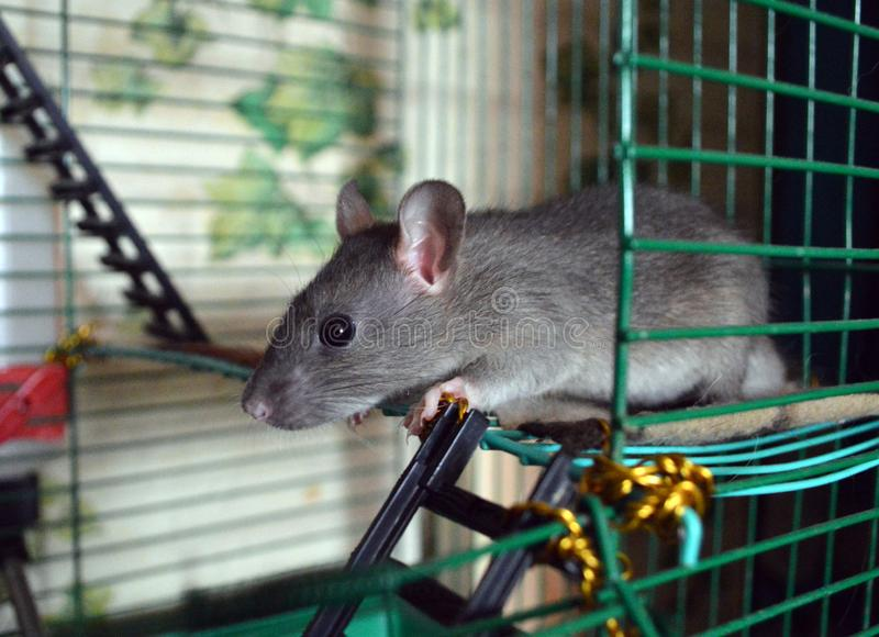 Cute little rat in a cage royalty free stock photo