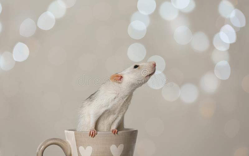 Cute little rat in cup. Chinese New Year symbol. Cute little rat in cup against blurred lights. Chinese New Year symbol stock photography