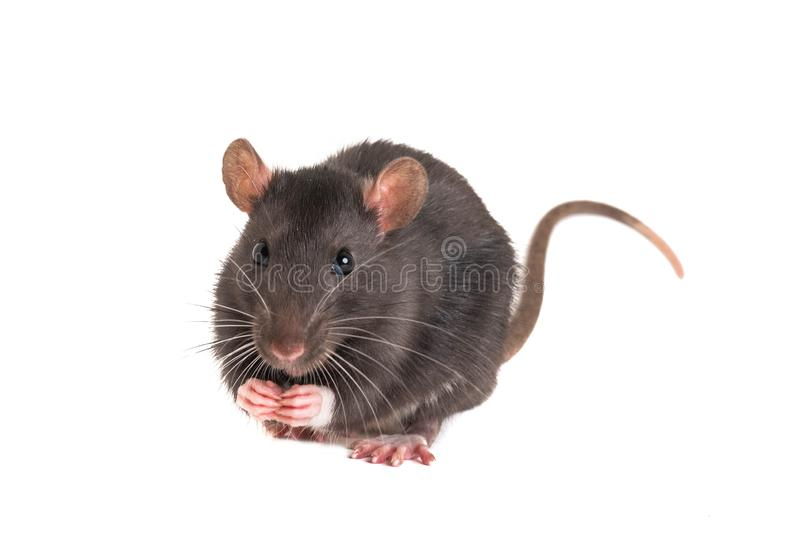 Cute little rat, folded legs, and stands on the hind royalty free stock photography