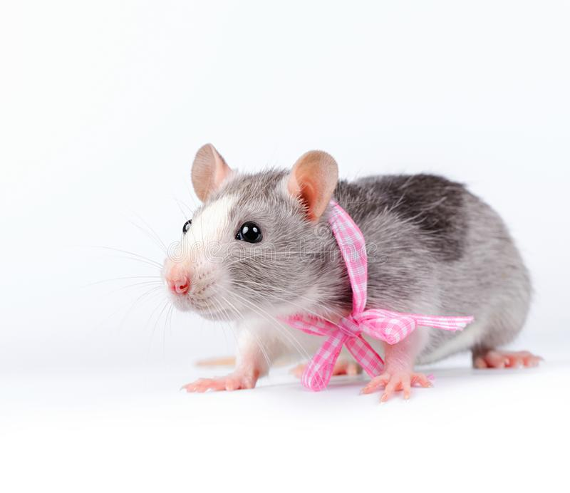 Cute little  rat with pink bow  on white background stock image