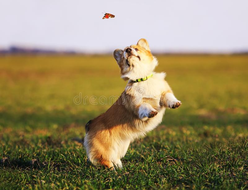 Cute little red-haired Corgi puppy runs around the green meadow and catches a butterfly stock images