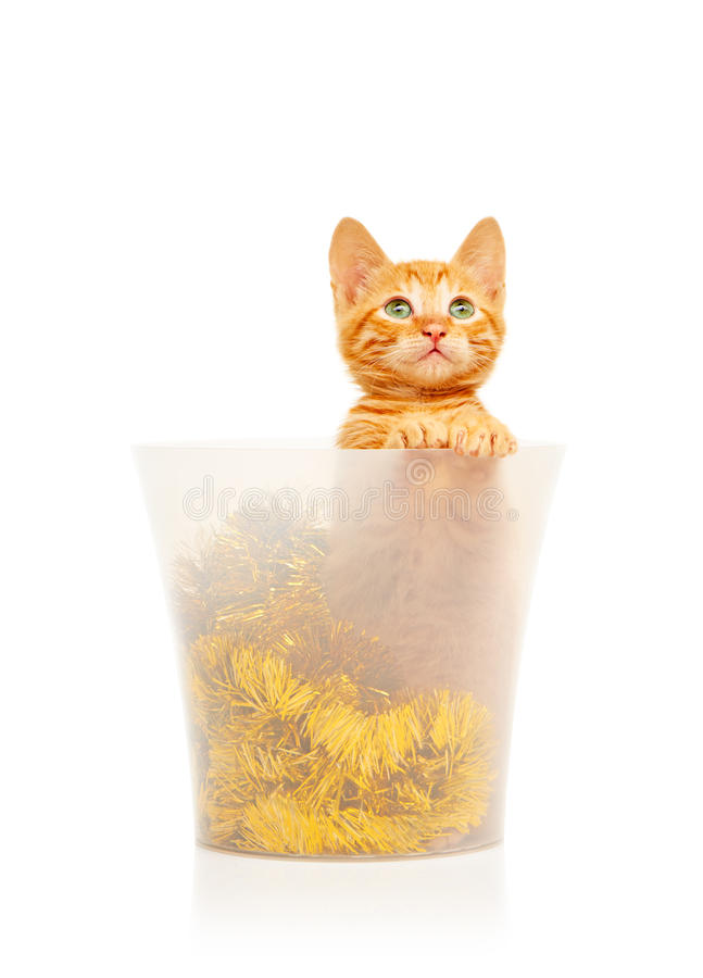 Cute little red kitten sitting in transparent bucket filled with golden tinsel Christmas decoration and looking straight at camera stock photos