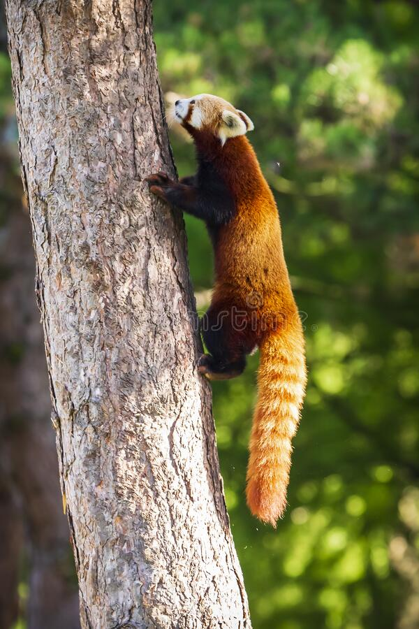 Cute Little red panda, Ailurus fulgens. Cute Little red panda resting in a tree. This is a small arboreal mammal native to the eastern Himalayas and southwestern stock images