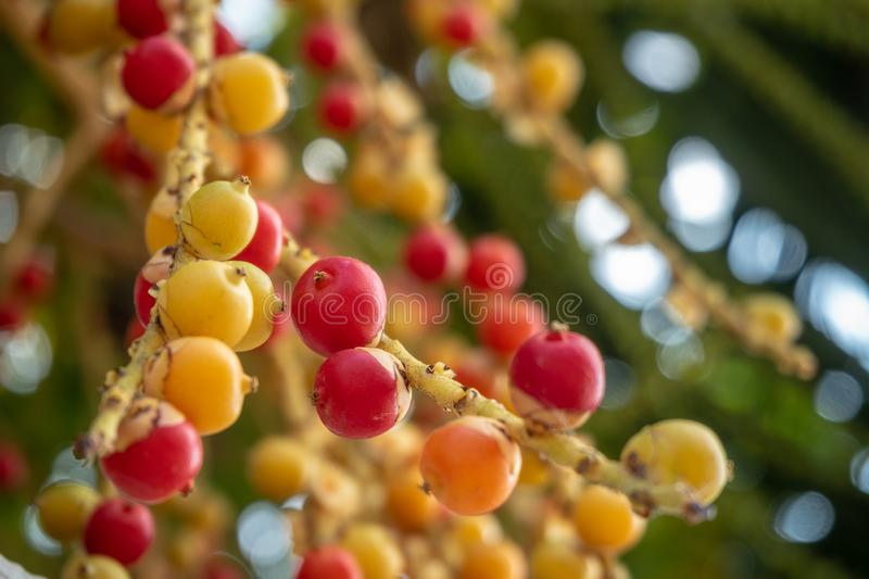 Cute little red, yellow and orange berries of acacia on blurred background stock photography