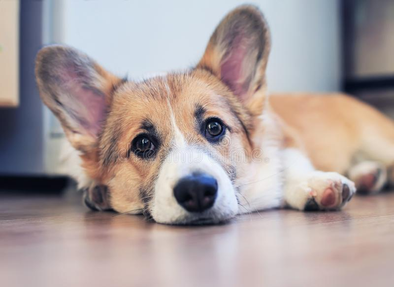 Cute little redhead puppy dog Corgi is lying on the floor and looking dreamy and with sad eyes stock image