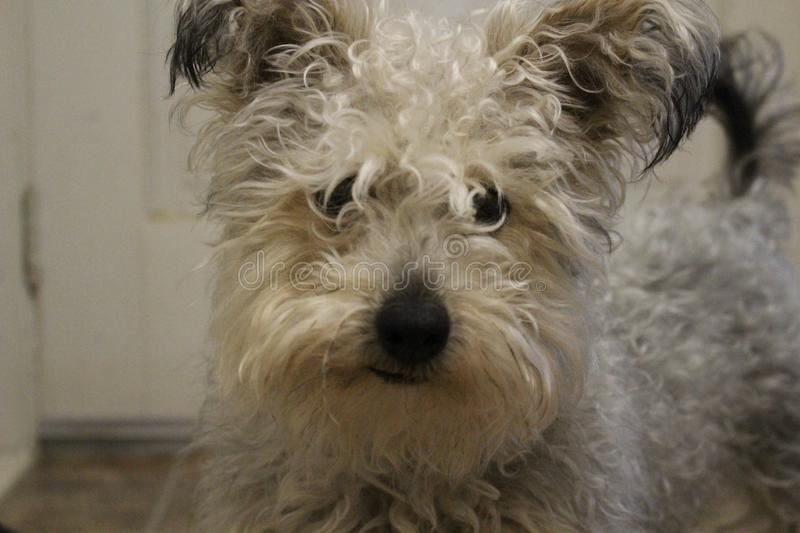 Cute little rescue mixed breed dog with dirty and scruffy fur looking at camera royalty free stock photos