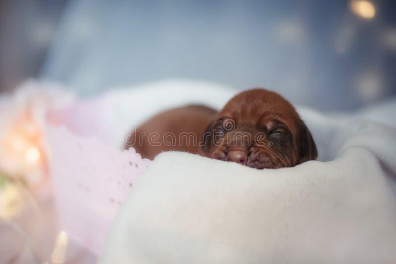 Cute little ridgeback newborn whelps stock photo