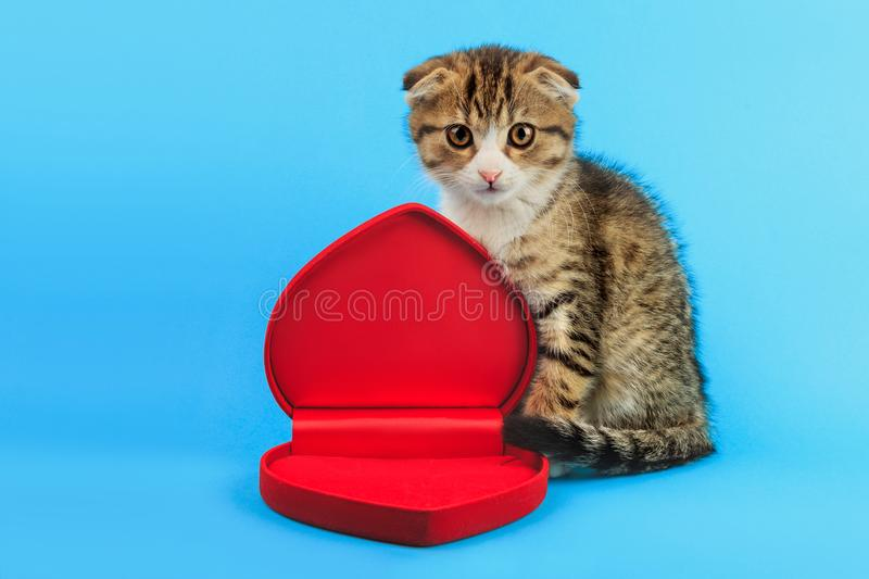 Cute little Scottish fold kitten with red heart shaped box on blue background. Valentine`s day, love, marriage concept royalty free stock photography