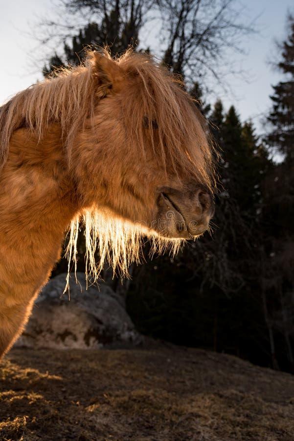 Cute little shetland pony in evening light. Sweden april 2019 stock images