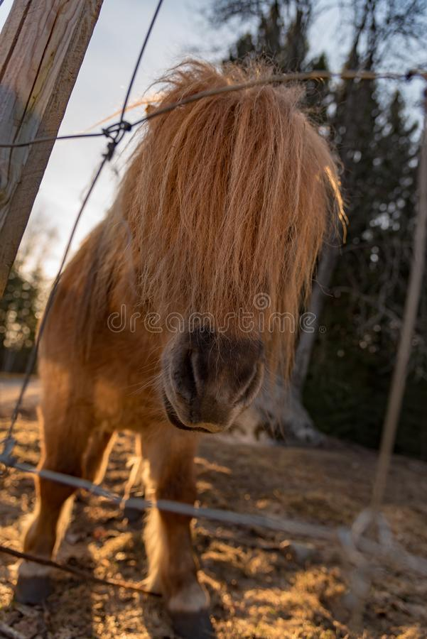 Cute little shetland pony in evening light. Sweden april 2019 stock photos
