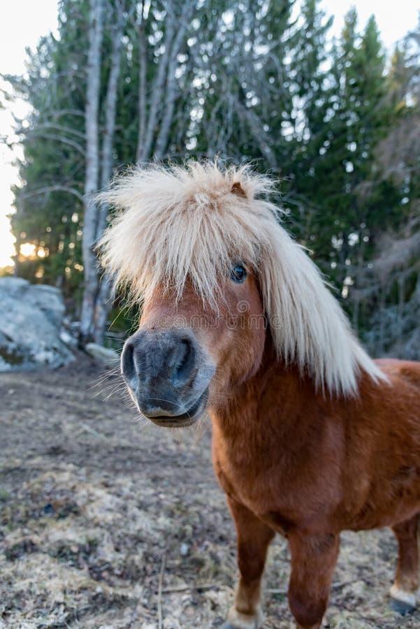 Cute little shetland pony in evening light. Sweden april 2019 stock photo