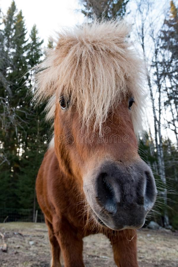 Cute little shetland pony in evening light. Sweden april 2019 royalty free stock photography