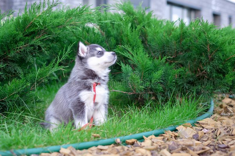 Cute little siberian husky puppy in grass royalty free stock photography