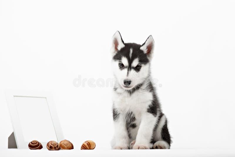 Cute little siberian husky puppy stock image