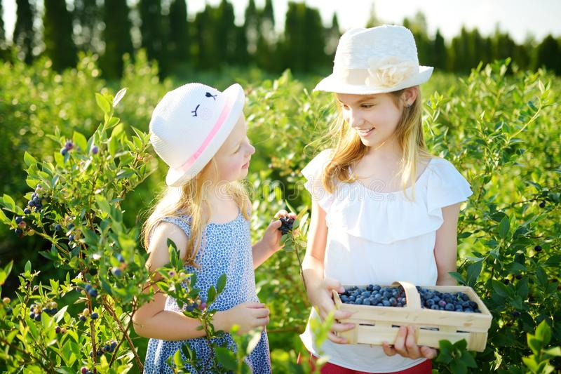 Cute little sisters picking fresh berries on organic blueberry farm on warm and sunny summer day. Fresh healthy organic food for s royalty free stock photo