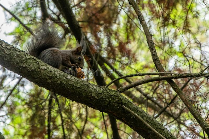 Cute little squirrel eating a hazelnut on the tree. Animals wildlife royalty free stock photos