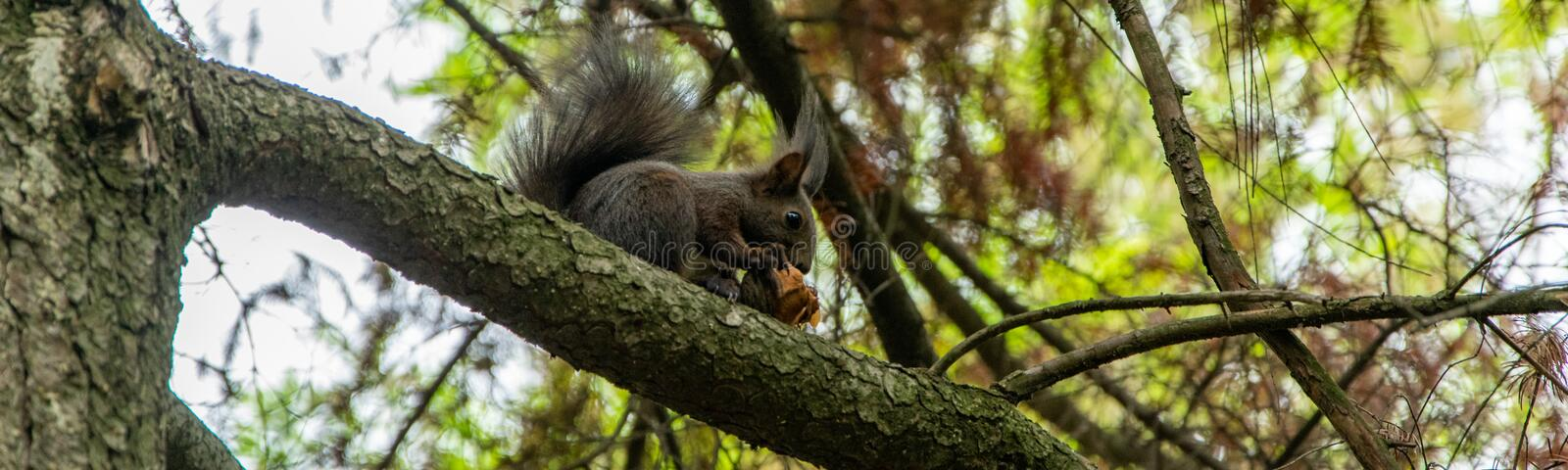 Cute little squirrel eating a hazelnut on the tree. Animals wildlife stock images