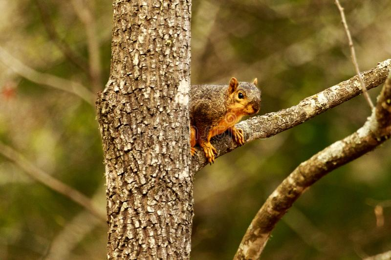 Peek-A-Boo. Cute little Squirrel Peeking out from behind the tree to see what I`m doing at The Bald Knob Wildlife Refuge in Bald Knob, Arkansas 2017 stock photos