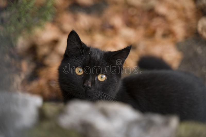 Cute little black cat with magnificent eyes stock photography