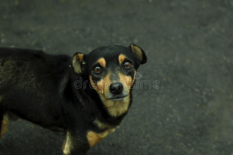 Cute little stray puppy mongrel. Small alone black dog with sad eyes, standing on the wet asphalt. Selective focus royalty free stock photography