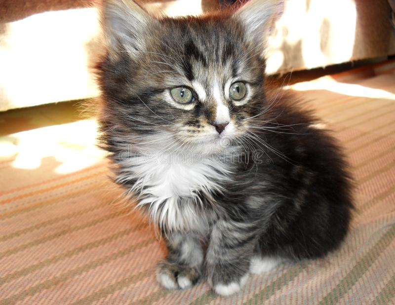 Cute little striped fluffy kitten adorable royalty free stock photo