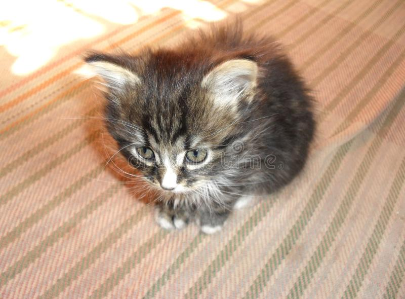 Cute little striped gray fluffy kitten adorable royalty free stock image