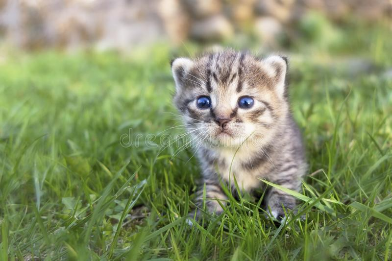 Cute little tabby kitten walking on the green grass stock photography