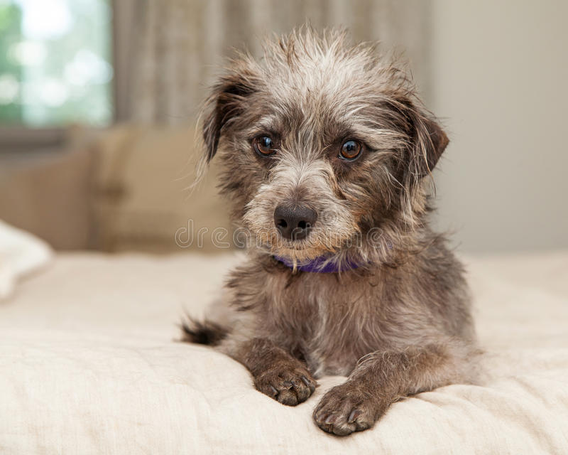 Cute Little Terrier Crossbreed on Bed stock image