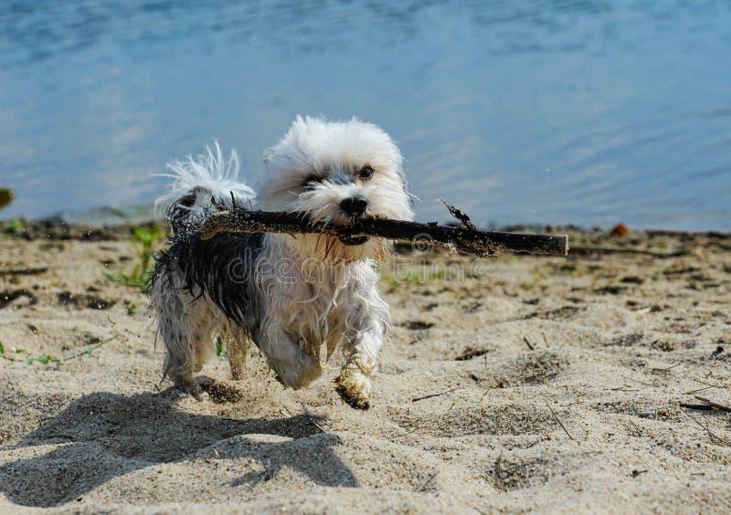 Cute, little terrier dog running on beach stock image