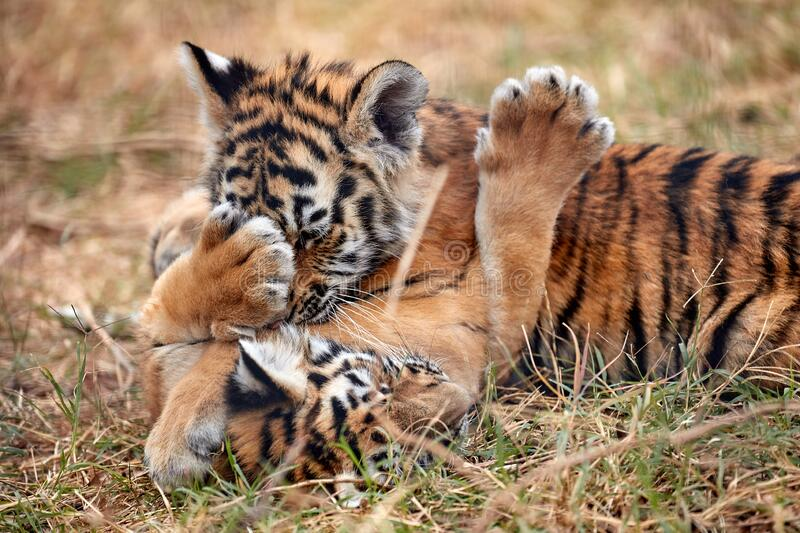 Cute little Tiger cubs playing in the grass royalty free stock photos