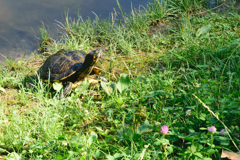 Cute little turtle sunbathing on the lakeshore.  royalty free stock images