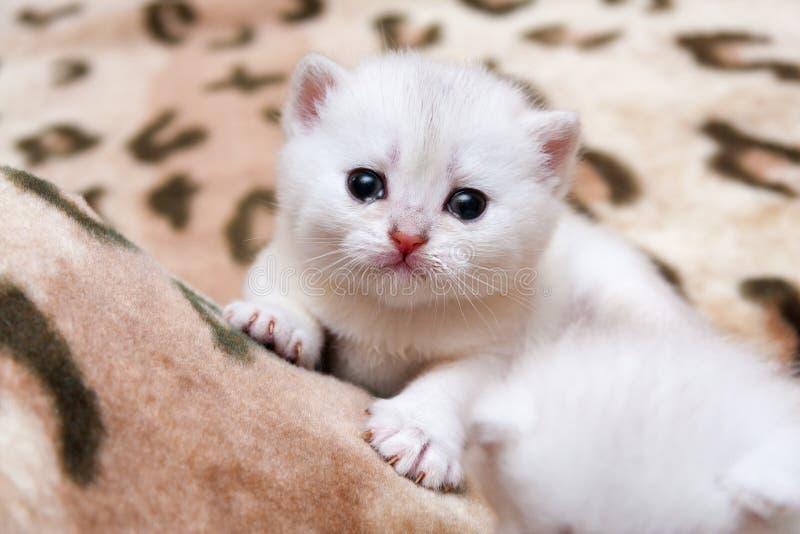 Cute little white British kitten crying stock photography