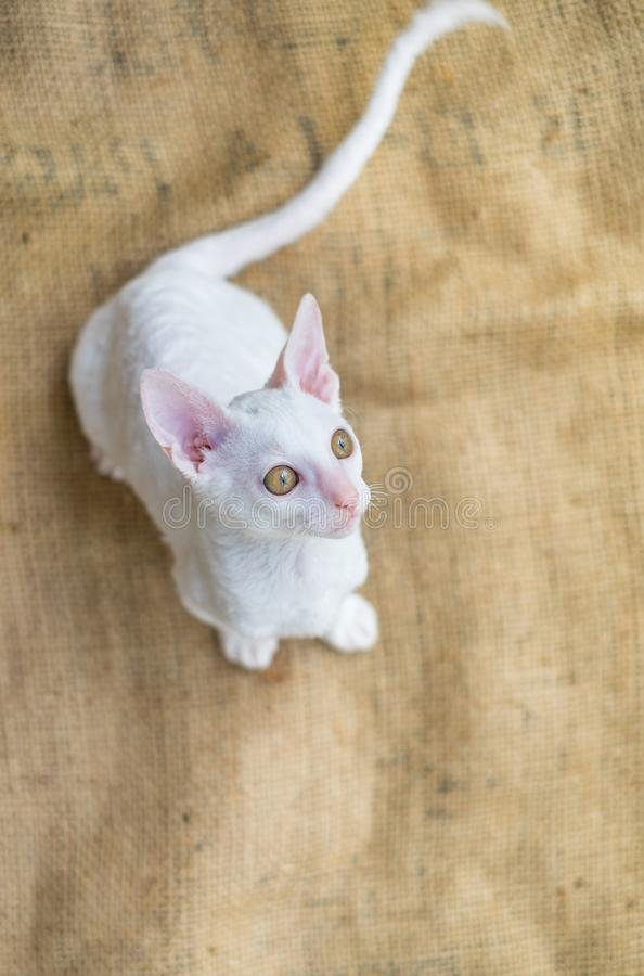 Cute little white cornish rex kitten with amber eyes. royalty free stock image