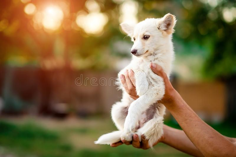 Little puppy holding on hands. Cute little white puppy holding on hands stock photo