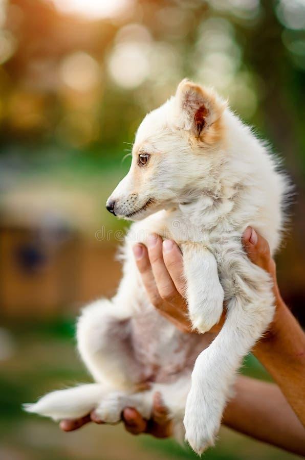 Little puppy holding on hands. Cute little white puppy holding on hands royalty free stock photos