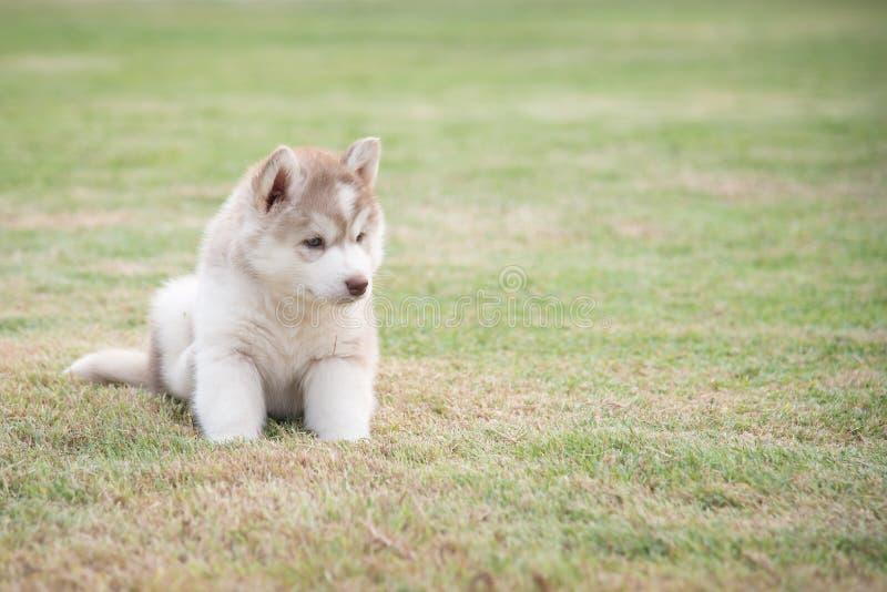 Cute little white siberian husky puppy sitting on green grass stock photos