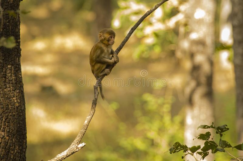 Wild Baby Rhesus Macaque Sitting on a Branch stock images