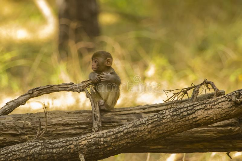 Wild Baby Rhesus Macaque Monkey on a Log royalty free stock image