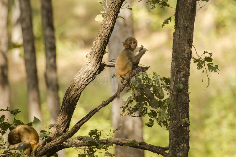 Wild Baby Rhesus Macaque in a Tree stock photography