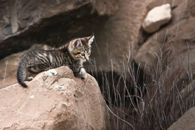 Cute little wild kitten on rock royalty free stock photography