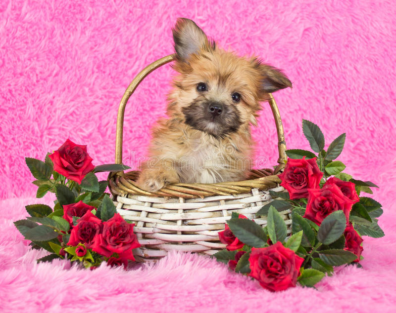 Cute little Yorki-Poo Puppy stock photography