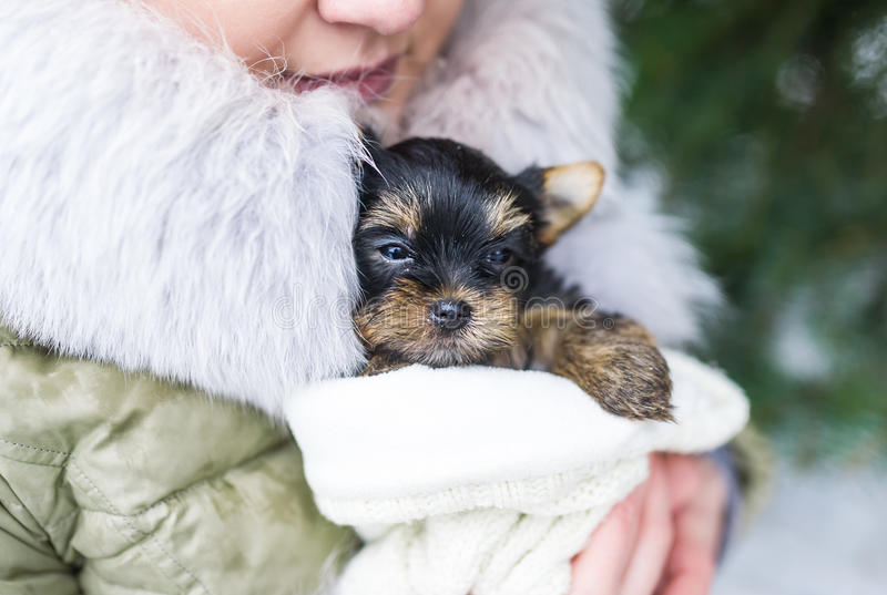Cute little yorkshire puppy in woman`s hands. The woman is in a coat outdoors royalty free stock photos