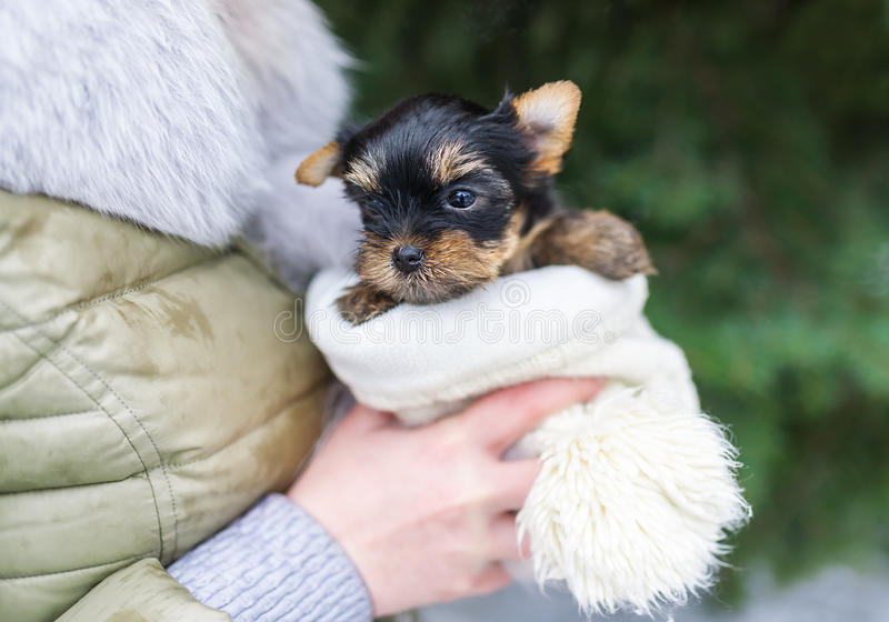 Cute little yorkshire puppy in woman`s hands. The woman is in a coat outdoors royalty free stock photography