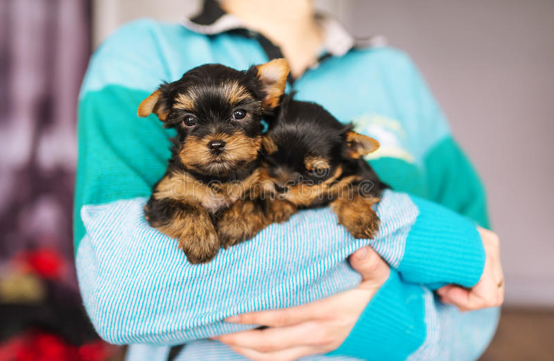 Cute little yorkshire puppy in woman`s hands. The woman is in the room stock photos