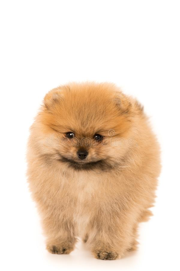 Cute Little young pomeranian cob isolated over white stock photo