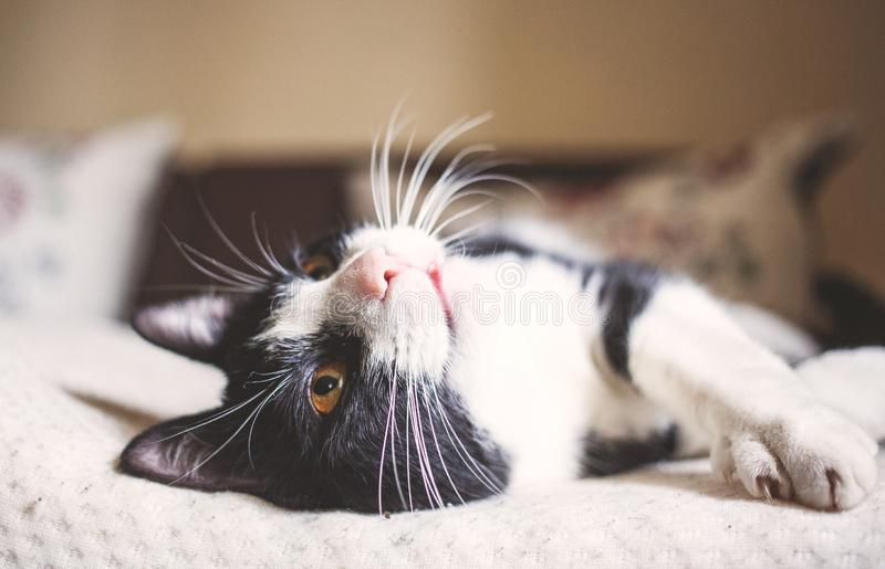 cute littleblack and white cat sleeping in bed royalty free stock photography