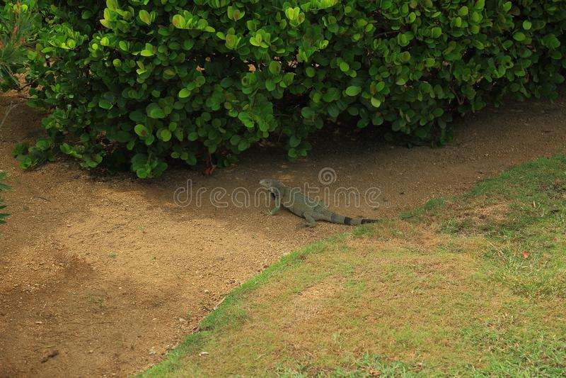 Cute lizard near green plant. Aruba Island royalty free stock images