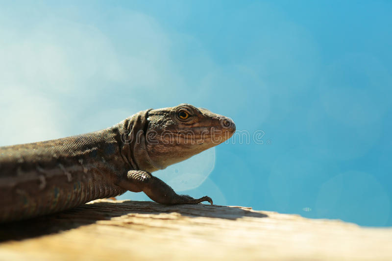 Cute lizard or reptile. Animal with grey skin sits on ground on sunny day on blurred blue sky background royalty free stock photography