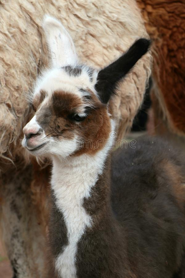 Cute llama baby. A baby llama looking up and very fluffy. Taken in Peru, south America royalty free stock images