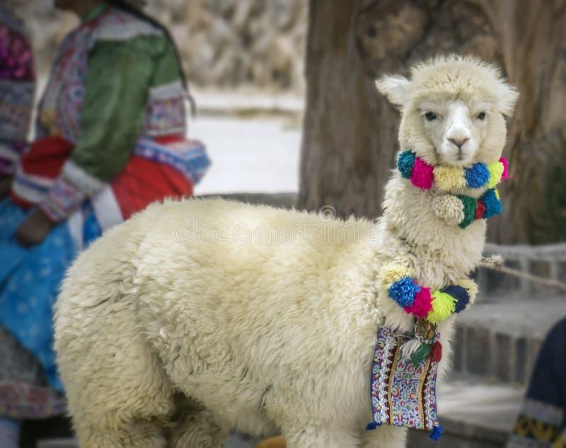 Cute Llama. Llama in Chivay, Colca valley, Peru royalty free stock photography